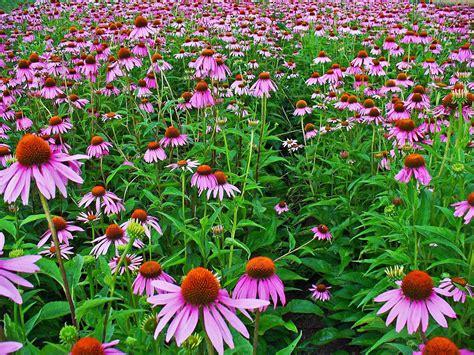 echinacea plant picture 5