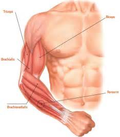 forearm muscle picture 15