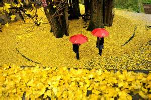 ginkgo tree will county picture 6