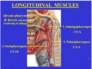 cricopharyngeal muscle picture 9