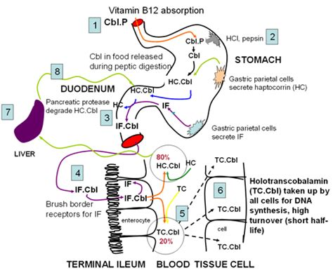 digestion of vitamins picture 3