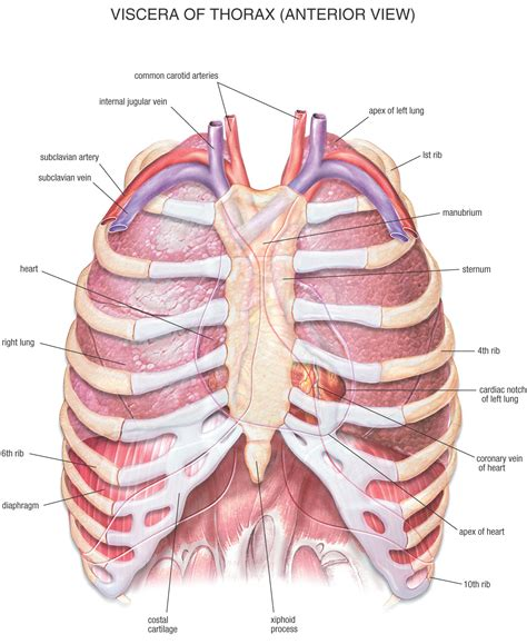 muscle that covers the chest and abdominal picture 3