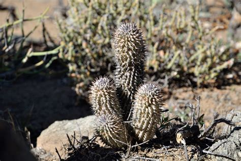 south african hoodia gordonii hallucinate picture 13