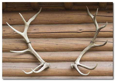what age can you start taking deer antler picture 5