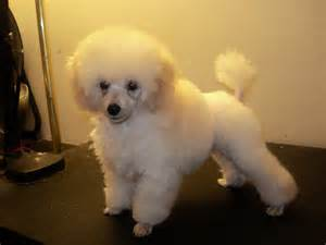how to cut poodles hair picture 11