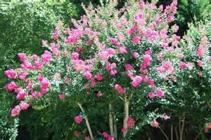 where to buy crepe jasmine bark picture 22