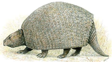 armadillo diet picture 11