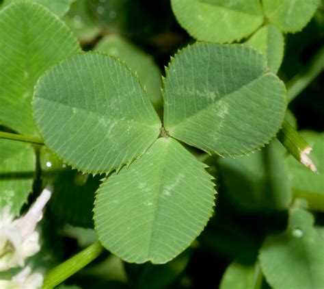 Red Clover Leaf picture 7