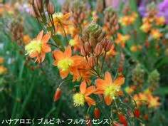 bulbine for acne picture 6