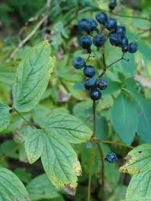 cohosh picture 5