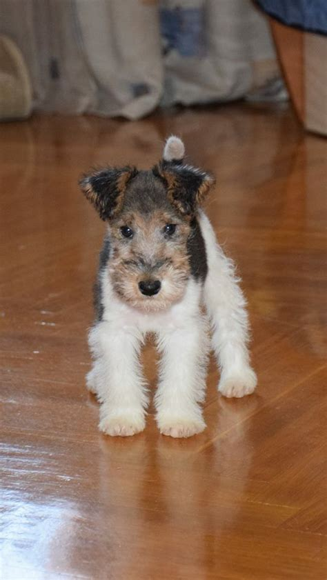 wire hair fox terrier picture 14