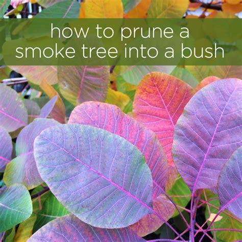 pruning smoke tree picture 2