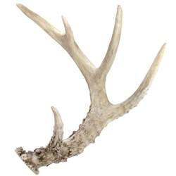 antler picture 6