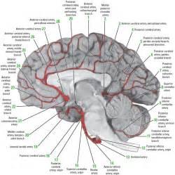 cerebral blood flow motor cortex picture 15