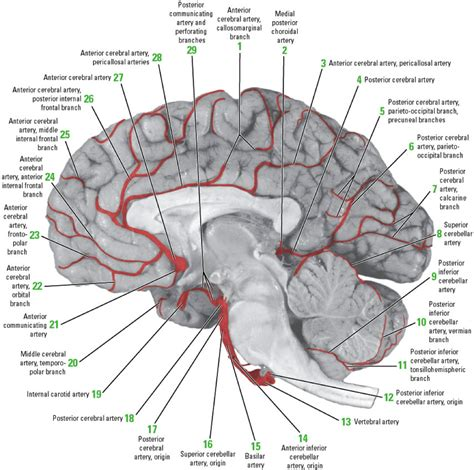 cortical blood flow picture 7