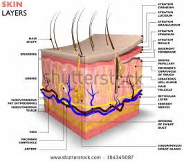 dermal layer of the skin picture 18