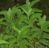 gabon herbal medicine philippine picture 1