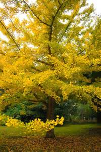 ginkgo tree picture 2
