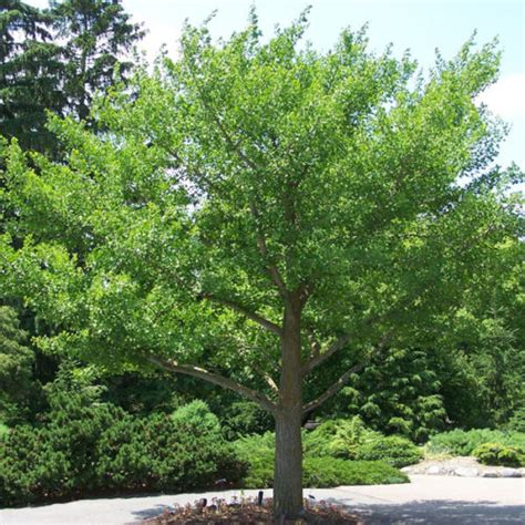 where are ginkgo biloba trees originally from picture 1
