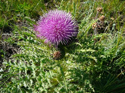 canadian thistle picture 1