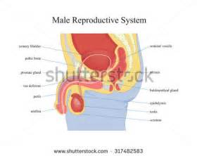 jakol i male reproductive systems picture 2