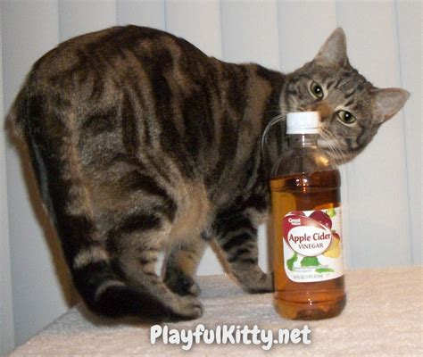 apple cider vinegar for cys is in cats picture 1