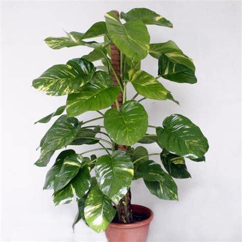 plantain tree care picture 13