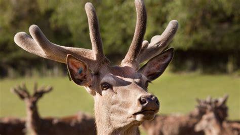 deer antler velvet and penis picture 1