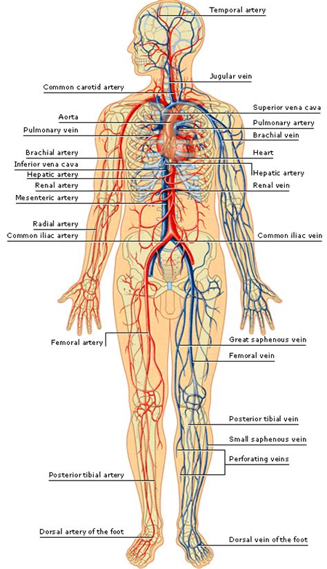 male blood flow picture 5