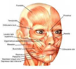 face muscle picture 5