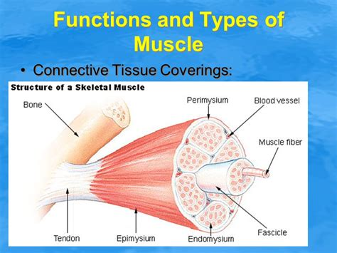 functions oe the muscle system picture 17