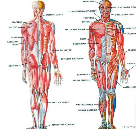 where is the liver located on human body picture 5