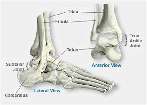 ankle joint diagram picture 5