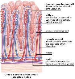 small intestinal wall picture 11