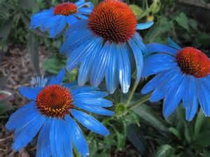 echinaceas picture 1