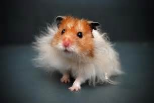short hair hamsters picture 6