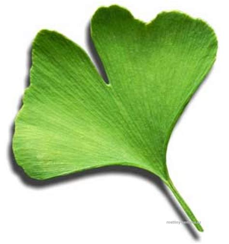 ginkgo tree facts picture 15