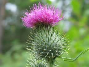 thistle flower picture 11