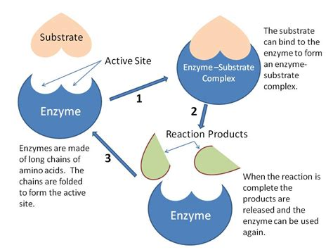 enzymes picture 1