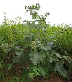 burdock tea for garden use picture 1