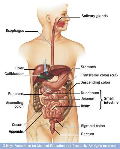 wheres your liver located on human picture 11