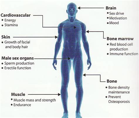 testosterone function in the body picture 7