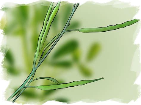 fenugreek growing picture 3