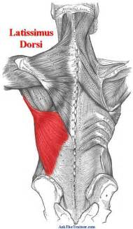 latissimus muscle picture 9