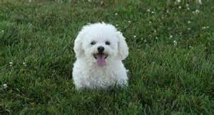 bichon frise hair styles picture 5