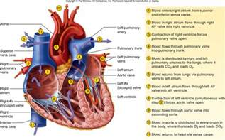 diagram blood flow through heart picture 14