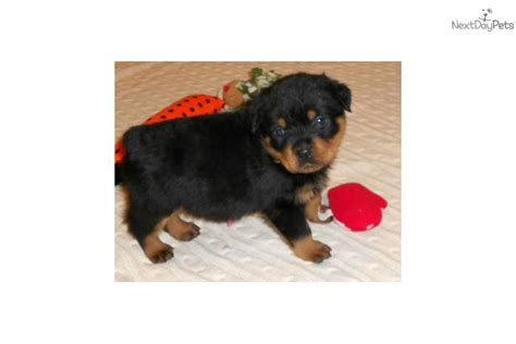 wrinkles on a rottweiler picture 9