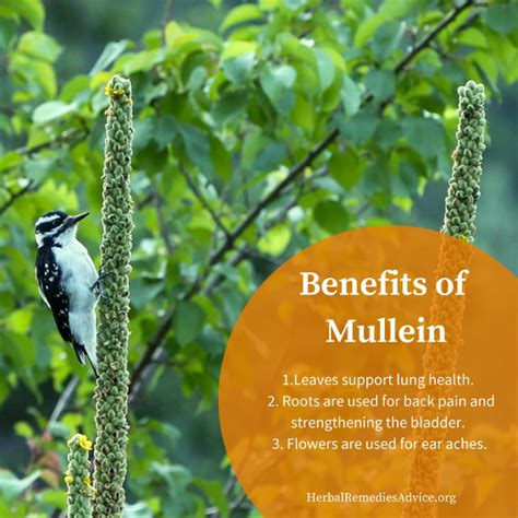 benefits of mullein picture 7
