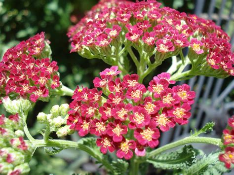 yarrow plants picture 19