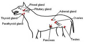 dog thyroid glands picture 5